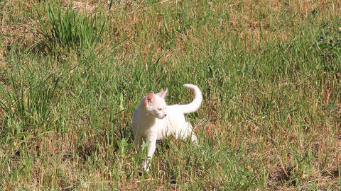 White kitten jumps in the grass 1383 Footage