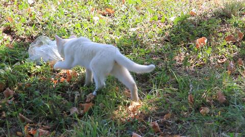 Kitten Walks Towards Plastic Bag 1392 stock footage