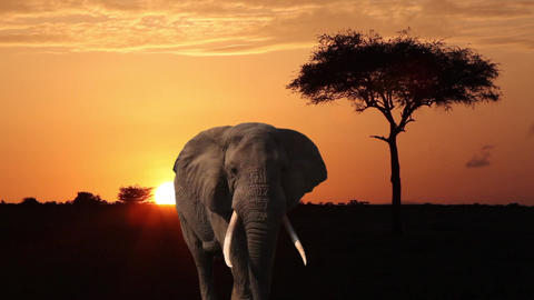 Elephant, Orange Sky , Tree And African Sunrise Footage