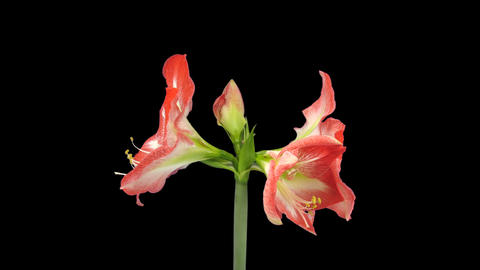 Growing and rotating Minerva amaryllis flower with Footage