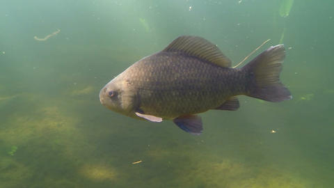 Crucian carp swimming in a wilderness lake Footage