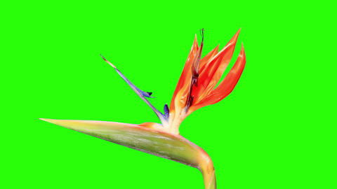 Blooming Strelitzia flower buds green screen, FULL Footage