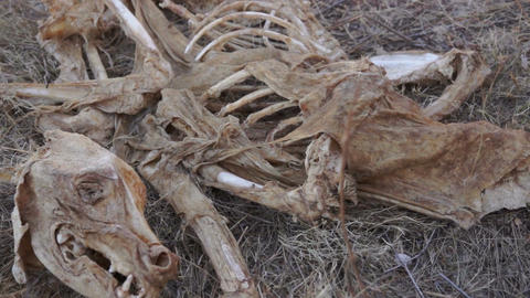Carcass Skeleton Dead Animal stock footage
