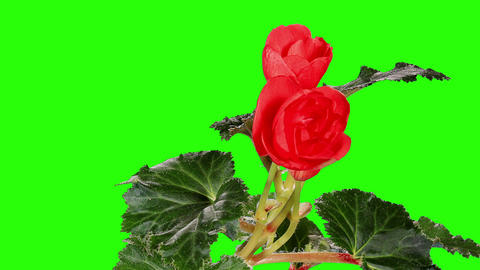 Blooming red Begonia flower buds green screen, FUL Footage
