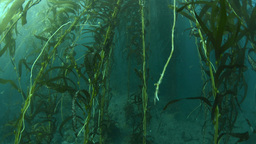 Dying kelp bed Footage