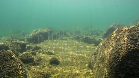 Aquatic plant Water lobelia growing between stones Live Action