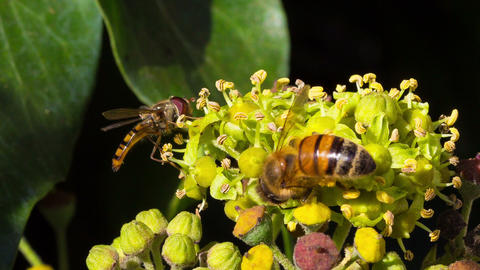 Marmalade hoverfly and a honey beeharvesting polle Footage