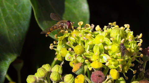 Marmalade hoverfly and other flies harvesting poll Footage