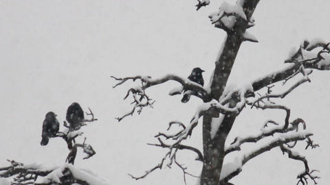 three crows in winter park Footage
