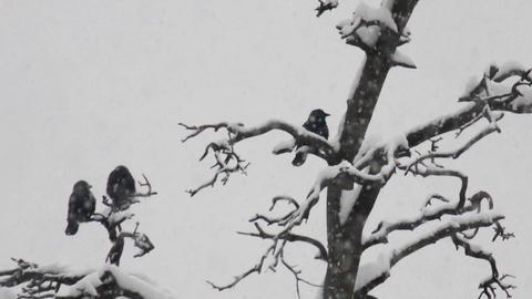 three crows in winter park Footage