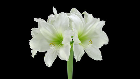 Growing and rotating amaryllis Arctic White with A GIF