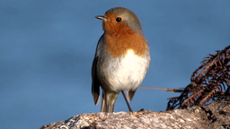 Robin Red-Breast Footage
