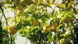Lemon tree detail antique Footage