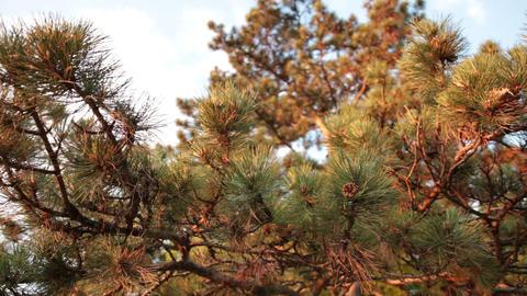 coniferous pine wood Footage
