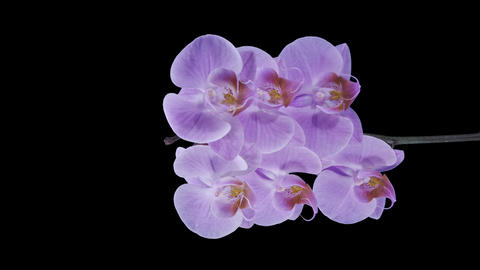 Time-lapse of opening purple Phalaenopsis orchid w Footage