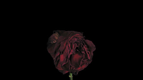 """Time-lapse of dying """"Red Naomi"""" rose with ALPHA, Footage"""