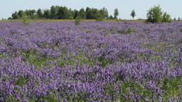 blue meadow HD Stock Video Footage