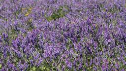 blue wildflowers HD Footage