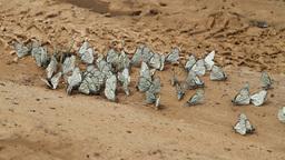 butterflies HD Stock Video Footage