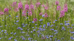 cornflowers and lupines HD Footage