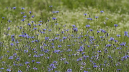 cornflowers HD Stock Video Footage