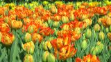 Field Of Orange Tulips stock footage