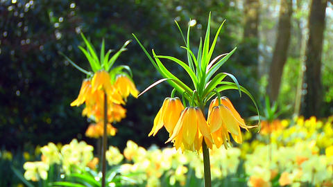 Orange fritillarias Stock Video Footage