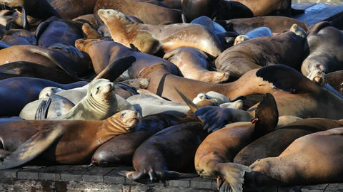 Sea Lion Crowd Footage