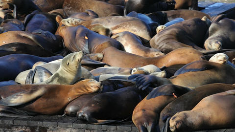 Sea Lion Crowd Stock Video Footage