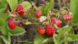 Strawberry HD Mov stock footage