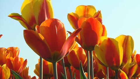 Field of orange tulips Stock Video Footage