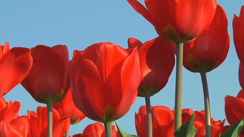 Red tulips Stock Video Footage