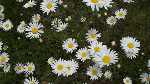 Chamomile flowers top view Footage