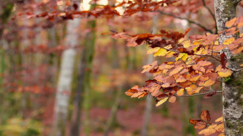 Beech Forest With Falling Leaves In Fall stock footage