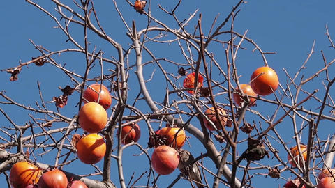 Wild Bird Eat A Persimmon -2 stock footage