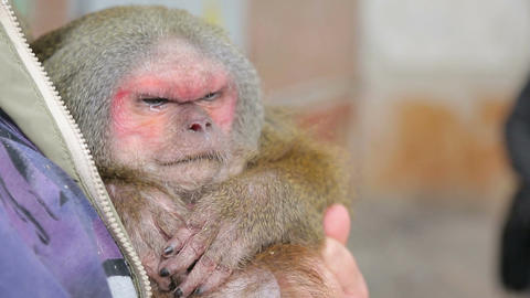 Animal shelter, blind monkey in the arms of a guid Live Action