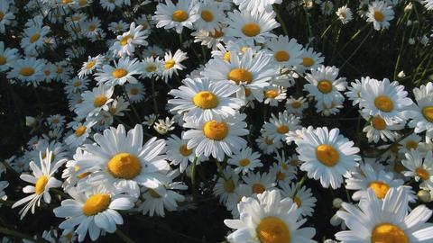 Daisy Field Footage