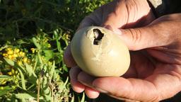 wild chikken recently hatching from egg Footage