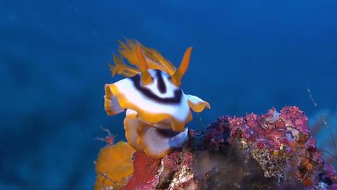 Dorid Nudibranch, sea slug Footage