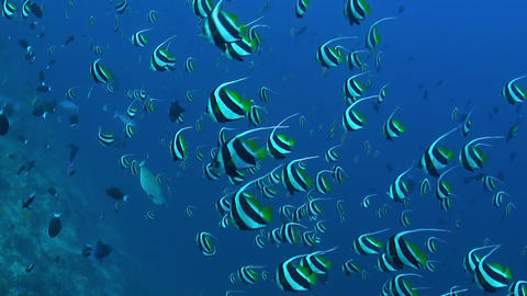 Schooling bannerfish, Heniochus diphreutes Footage