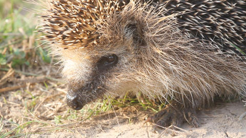 Hedgehog Needle Wild Animal Close Up stock footage