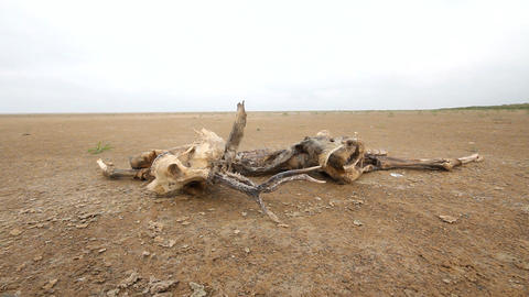 Dead Animal Among Sand And Drought stock footage