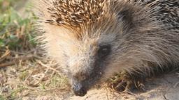 hedgehog a wild animal close up goes leaves Footage