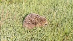 wild animal hedgehog on grass close up Footage