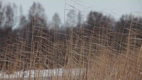 Reeds Sea Shore Cold North Wind stock footage