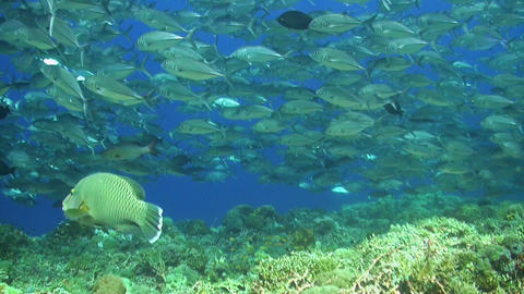 School of Jacks on a coral reef Live Action