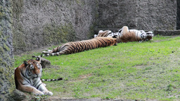 Siberian tigers. Amur tigers Live Action