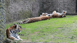 Siberian tigers. Amur tigers Stock Video Footage