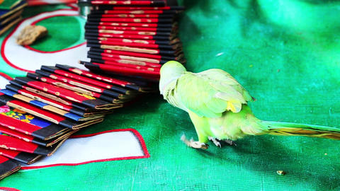 Shot Of Fortune Telling By Parrot stock footage
