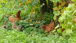 Free range hens and young chickens in the grass Footage